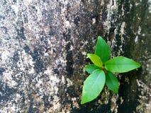 新鲜的绿色叶子在呈杂色的混凝土墙上发芽 库存图片