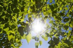 新鲜的绿色叶子在森林里在中部的构筑太阳 免版税库存照片