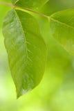 新鲜的绿色叶子 免版税图库摄影