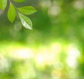 新鲜的绿色叶子 免版税库存照片