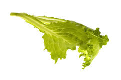 新鲜的绿色散叶莴苣蔬菜 库存图片