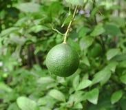新鲜的绿色柠檬 库存图片