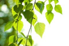 新鲜的绿色桦树叶子 免版税库存图片