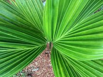 新鲜的绿色棕榈叶 免版税库存图片