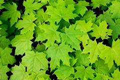 新鲜的绿色槭树的样式为design_离开 免版税库存图片