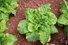 新鲜的绿色橡木butterhead莴苣沙拉植物,菜事假 库存照片