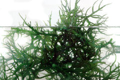 新鲜的绿色海草在水中 库存图片