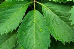 新鲜的绿色狂放的林木 在雨以后的三叶草湿叶子与水下落 植物的自然背景 墙纸海报 免版税图库摄影
