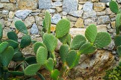 新鲜的绿色生长反对概略的花岗岩石墙背景,米科诺斯岛的兔宝宝耳朵仙人掌沙漠多汁植物 图库摄影