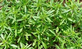 新鲜的绿色美味植物 夏重薄荷背景 免版税库存照片