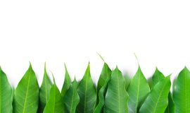 新鲜的绿色芒果叶子 免版税库存图片