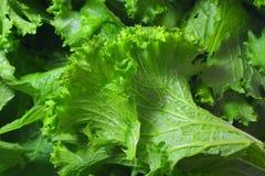 新鲜的绿色芥末 图库摄影
