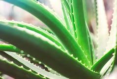 新鲜的绿色芦荟维拉植物宏指令  库存照片