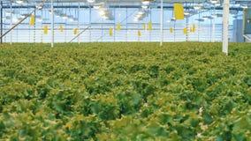 新鲜的绿色莴苣幼木在一间蔓延的玻璃温室被种植 影视素材