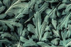 新鲜的绿色菊花离开设计的纹理背景 库存照片