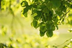 新鲜的绿色菩提树叶子 免版税库存图片