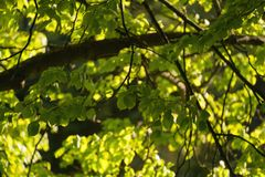 新鲜的绿色菩提树叶子 免版税库存照片