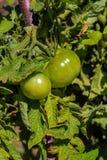 新鲜的绿色蕃茄菜在庭院里 免版税库存照片