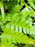 新鲜的绿色蕨叶子特写镜头  库存图片