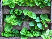 新鲜的绿色薄荷在木墙壁离开 免版税库存照片