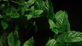 新鲜的绿色薄荷的草本在晚上 股票视频