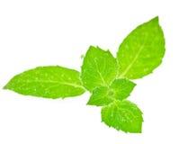 新鲜的绿色薄菏 库存照片