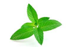 新鲜的绿色薄菏 免版税库存图片