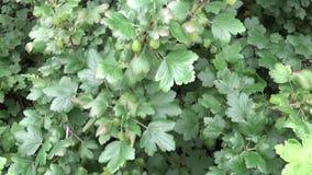新鲜的绿色醋栗灌木丛在果子庭院里 股票录像