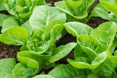 新鲜的绿色长叶莴苣或莴苣在菜园里 免版税图库摄影