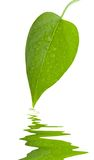 新鲜的绿色隔离叶子 免版税库存图片