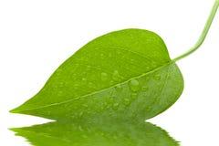 新鲜的绿色隔离叶子 免版税库存照片