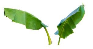 新鲜的绿色香蕉叶子隔绝与裁减路线 图库摄影