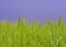 新鲜的绿色麦子黑暗天空 免版税库存图片