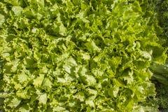 新鲜的绿色莴苣 库存图片