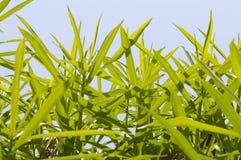 新鲜的绿色cascabela黄夹竹桃属叶子在自然庭院里 库存图片