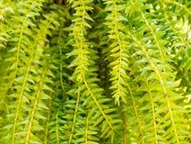 新鲜的绿色huperzia squarrosa蕨在自然庭院背景离开 免版税图库摄影