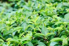 新鲜的绿茶芽和叶子,茶园领域,自然bac 免版税图库摄影