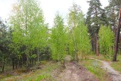 新鲜的绿草和桦树树丛在夏天 春天场面在桦树森林 有新鲜的年轻叶子的春天森林 ?? 库存照片