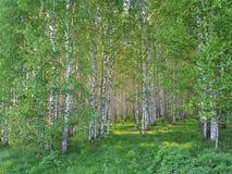 新鲜的绿草和桦树树丛在夏天 春天场面在桦树森林 库存图片