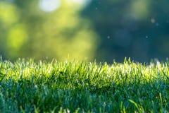 新鲜的绿草在一个公园有抽象绿色背景 免版税库存图片