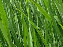 新鲜的绿草特写镜头  库存图片