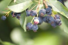 新鲜的缅因蓝莓 库存照片