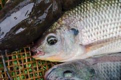 新鲜的罗非鱼鲶鱼钓鱼竹柳条制品 图库摄影