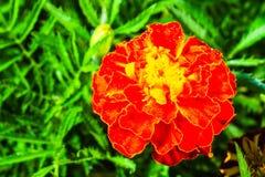 新鲜的美丽的万寿菊 免版税库存图片