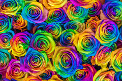 新鲜的美丽的充满活力的多色玫瑰为花卉背景开花 彩虹色独特和特别玫瑰 顶层 库存图片