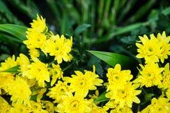 新鲜的美丽的明亮的黄色开花的菊花开花前景有卖在市场上的被弄脏的绿色叶子背景 库存照片