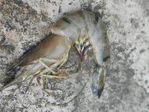 新鲜的老虎虾 库存图片