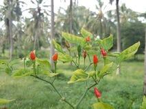 新鲜的胡椒在庭院里 库存图片