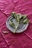 新鲜的芬芳贤哲草本从我的有机药草园Salv采摘了 图库摄影