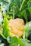 新鲜的花椰菜植物 免版税库存照片